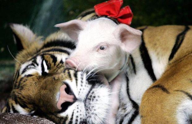 Tigre et Cochon